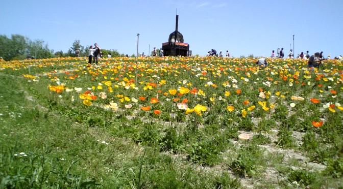 万博公園 花の丘のポピー